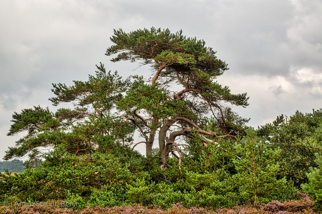HDR shot of old pine trees at Hiddensee island