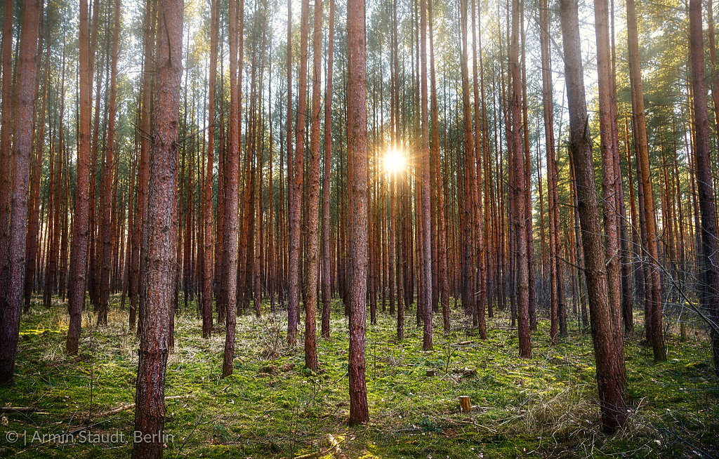sunset in a pine tree forest near Berlin