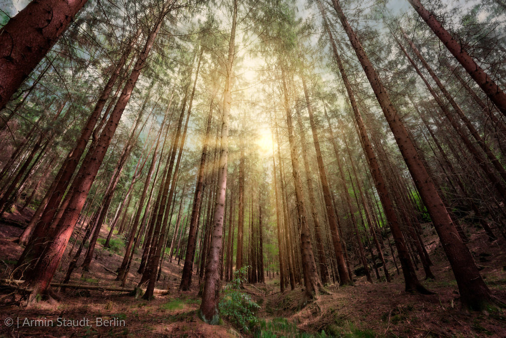 sunset in a deep conifer forest