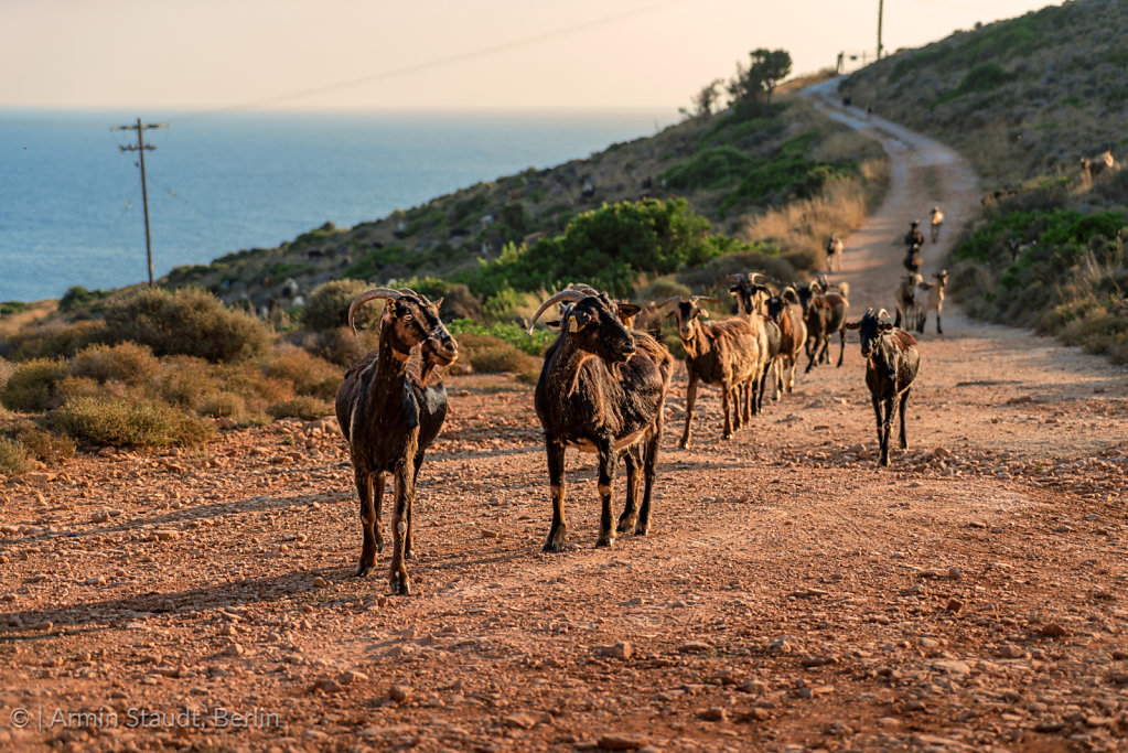Herd of goats ran down a street in the evening sun