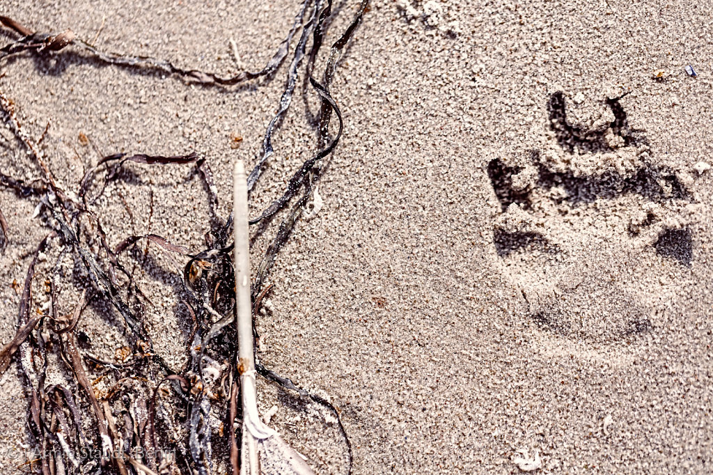 dog paw prints at the beach and old feather